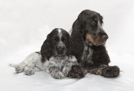 english cocker spaniel: English Cocker Spaniel Family. Seven weeks old. Stock Photo