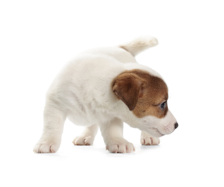 jack russell terrier: Jack Russell Terrier puppy isolated on white background.