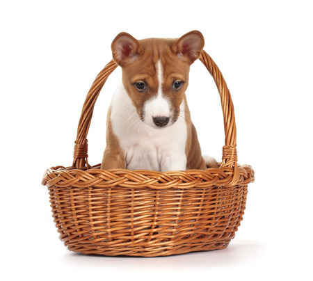 baskets: Adorable basenji puppy in a basket isolated on white background. Front view, sitting, looking down. Stock Photo