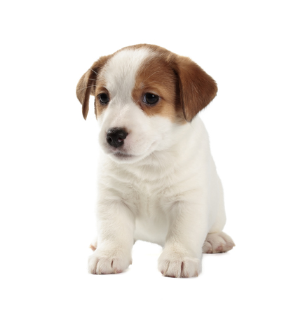 jack russell terrier puppy: Jack Russell Terrier puppy isolated on white background. Front view, sitting.