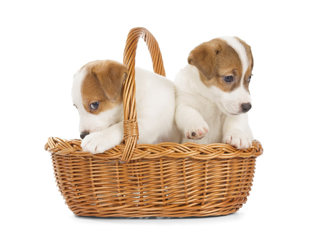 cute puppy: Jack Russell Terrier puppies sitting in a basket. Isolated on white background. Stock Photo
