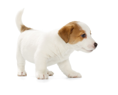 jack russell terrier puppy: Playful Jack Russell Terrier puppy isolated on white background. Front view, standing.