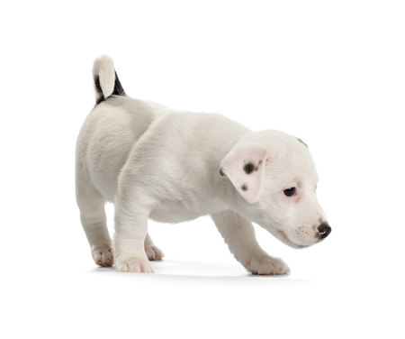 jack russell terrier puppy: Playful Jack Russell Terrier puppy isolated on white background. Side view, standing.
