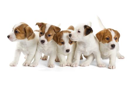 Vijf Jack Russell Terrier puppies op een witte achtergrond. Vooraanzicht, zitten.