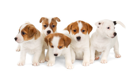 Five Jack Russell Terrier puppies isolated on white background. Front view, sitting. Stock Photo