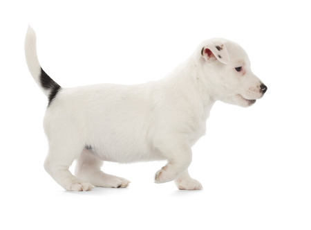 white playful: Playful Jack Russell Terrier puppy isolated on white background. Side view, standing.