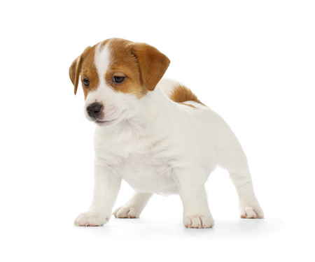Playful Jack Russell Terrier puppy isolated on white background. Front view, standing.