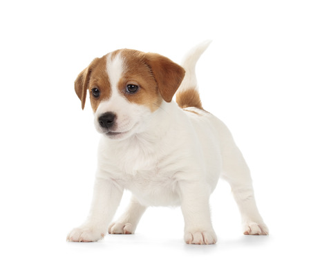 white playful: Playful Jack Russell Terrier puppy isolated on white background. Front view, standing, playing. Stock Photo
