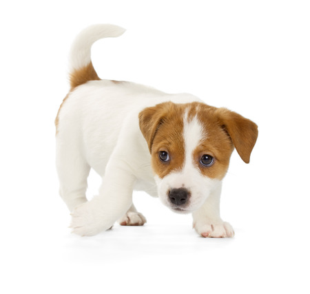 jack terrier: Jack Russell Terrier puppy isolated on white background.