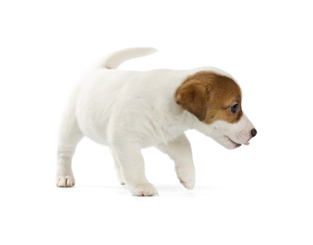 jack russell terrier puppy: Jack Russell Terrier puppy isolated on white background.
