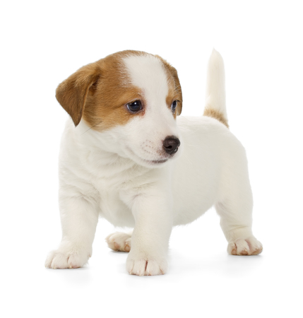 jack russell terrier: Playful Jack Russell Terrier puppy isolated on white background. Front view, standing.