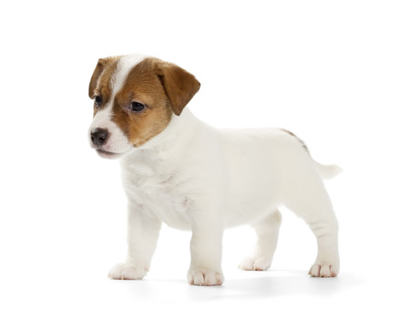 white playful: Playful Jack Russell Terrier puppy isolated on white background. Front view, standing.