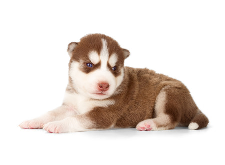 huskies: Siberian husky puppy. Side view, isolated on white.