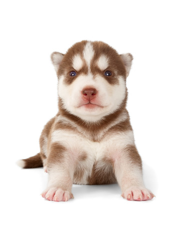 prideful: Siberian husky puppy. Front view, isolated on white.