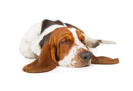 oido: Basset Hound durmiendo perro aislado en el fondo blanco Foto de archivo