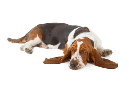 白い背景に分離されて眠っているバセットハウンド犬