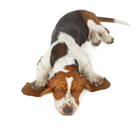 basset: Basset Hound dog sleeping isolated on white background