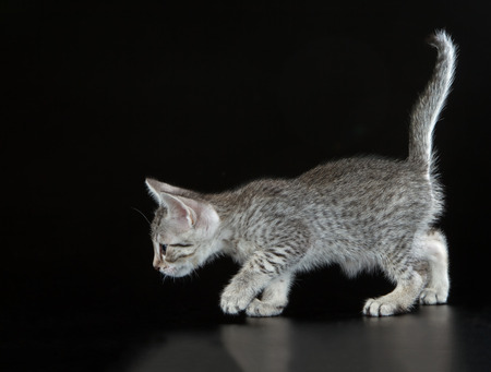Silver Egyptian Mau Little Kitten (Felis catus). Naturally spotted breed of domesticated cat. Stock Photo