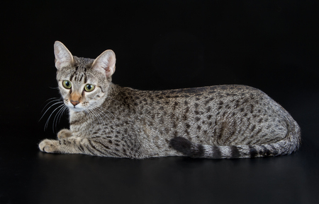 Bronze Egyptian Mau Cat (Felis catus). Naturally spotted breed of domesticated cat. Imagens