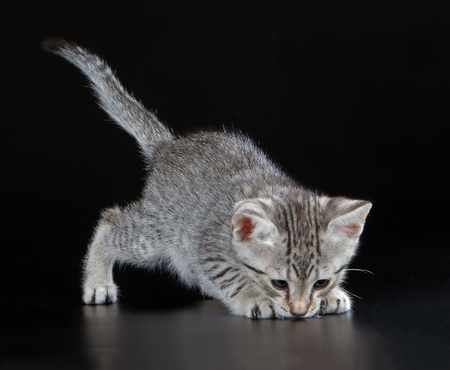 pussy: Silver Egyptian Mau Little Kitten (Felis catus). Naturally spotted breed of domesticated cat. Stock Photo
