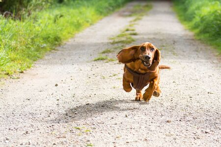 A basset dog with long floppy ears comes running and has a funny look Stok Fotoğraf - 150152671