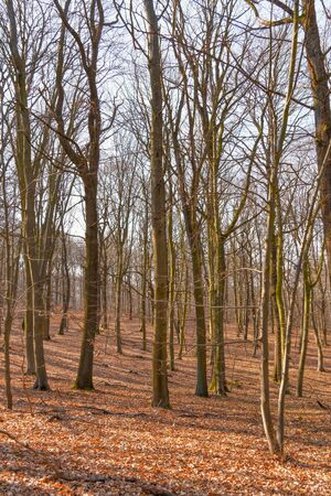 A bare forest with trees and branches, brown leaves on the ground Stok Fotoğraf