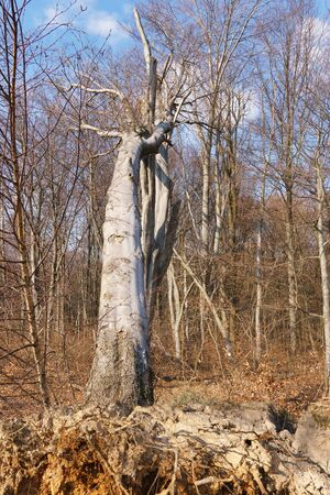 A large uprooted tree in the forest