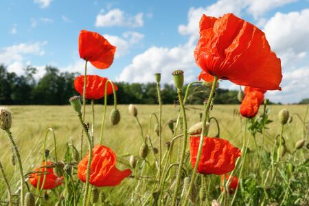 Red poppies in bloom on a field
