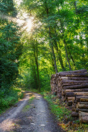 A sun-drenched forest through which a small path leads. There are stacked tree trunks on the side Stok Fotoğraf