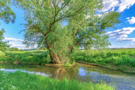 An old tree at a fork in the river on a summer day with a blue sky and clouds