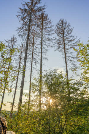 A wonderful sunset in the evening between the tall long trees, outdoor shot Stok Fotoğraf