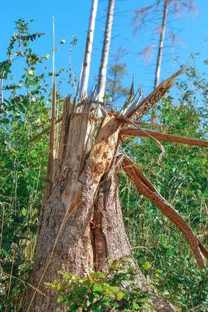 A broken tree trunk which has broken apart Stok Fotoğraf