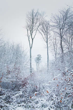 Foggy winter landscape in a forest of bare trees
