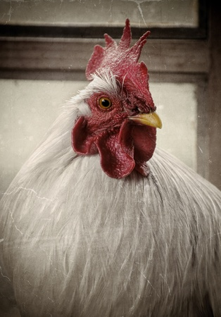 red hen: Vintage portret of a white rooster