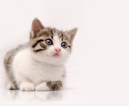 Studio shoot of young cat looking at something that could be designer choice Stock Photo