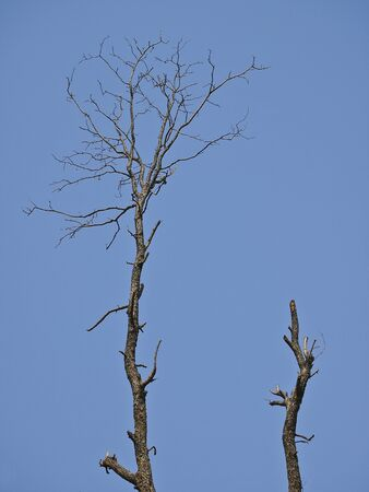 double dead tree stand in sunny day