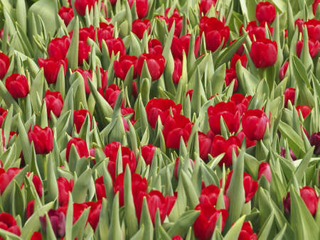 clump: clump of tulip in flower Plant nursery Stock Photo