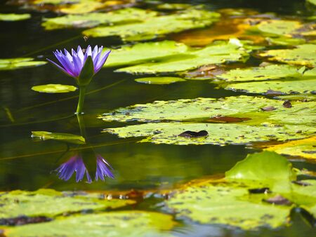 beautiful image reflection of bloom vilet lotus in green pond photo