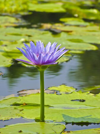 big violet bloom lotus rise up in sunlight Stock Photo