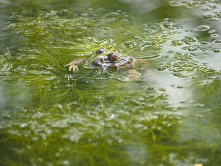 eye of toad over water of green pond photo