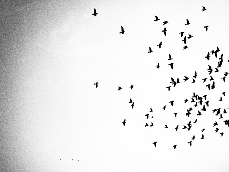 Masses of bird in black and white image screen