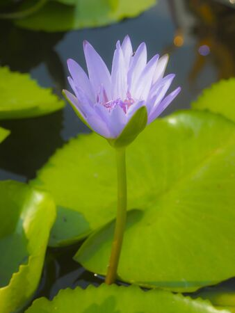 young violet lotus blooming in sunny day