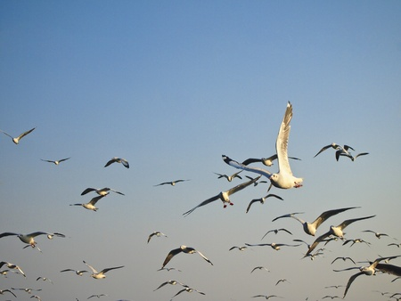 beautiful seagull soar in groups of seagull photo