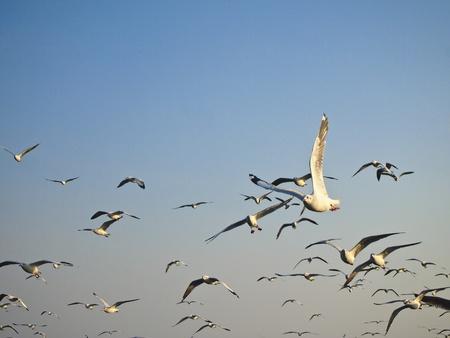 soar: beautiful seagull soar in groups of seagull Stock Photo