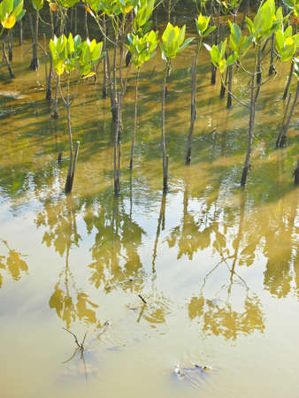 seedling mangrove plant and reflection image in swamp
