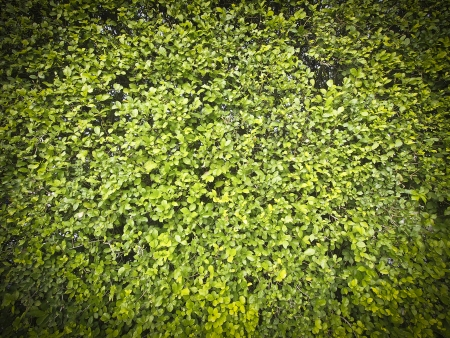 texture of wide area green bush in sunlight with vignettes conner Stock Photo