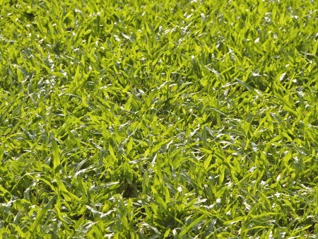 closeup of grass surface on lawn in sunlight Stock Photo - 23559523