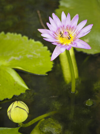 purple lotus bloom and bud in green pond