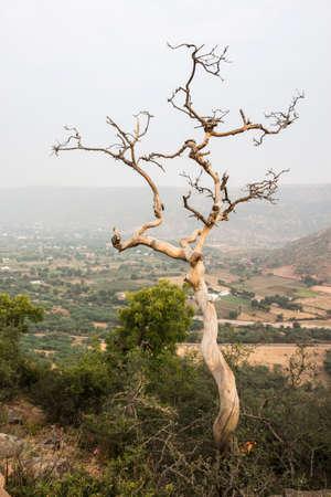 death bare tree on hill in winter season, pushkar, India Stock Photo