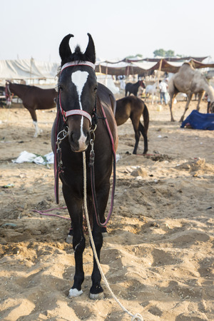 rajasthan: tie of horse in camp in daytime, Pushkar, Rajasthan, India.